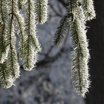 Branche de sapin givrée par le froid